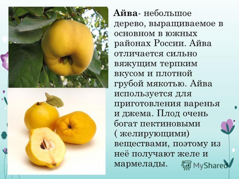 Айва - небольшое дерево, выращиваемое в основном в южных районах России. Айва отличается сильно вяжущим терпким вкусом и плотной грубой мякотью. Айва используется для приготовления варенья и джема. Плод очень богат пектиновыми ( желирующими) вещества