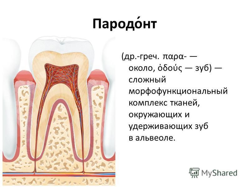 Пародо́нт (др.-греч. παρα- около, δούς зуб) сложный морфофункциональный комплекс тканей, окружающих и удерживающих зуб в альвеоле.