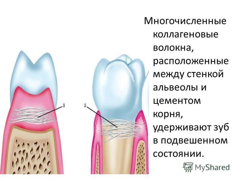 Многочисленные коллагеновые волокна, расположенные между стенкой альвеолы и цементам корня, удерживают зуб в подвешенном состоянии.