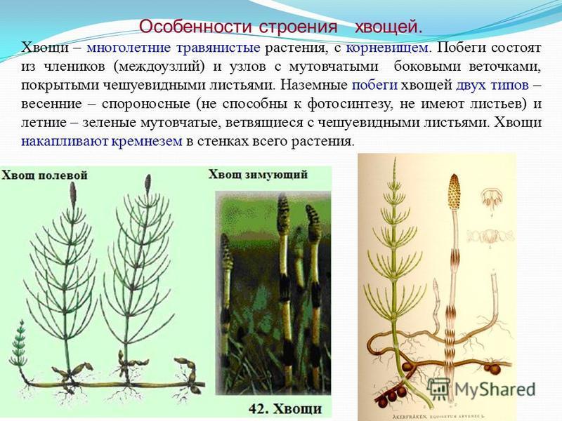 Особенности строения хвощей. Хвощи – многолетние травянистые растения, с корневищем. Побеги состоят из члеников (междоузлий) и узлов с мутовчатыми боковыми веточками, покрытыми чешуевидными листьями. Наземные побеги хвощей двух типов – весенние – спо