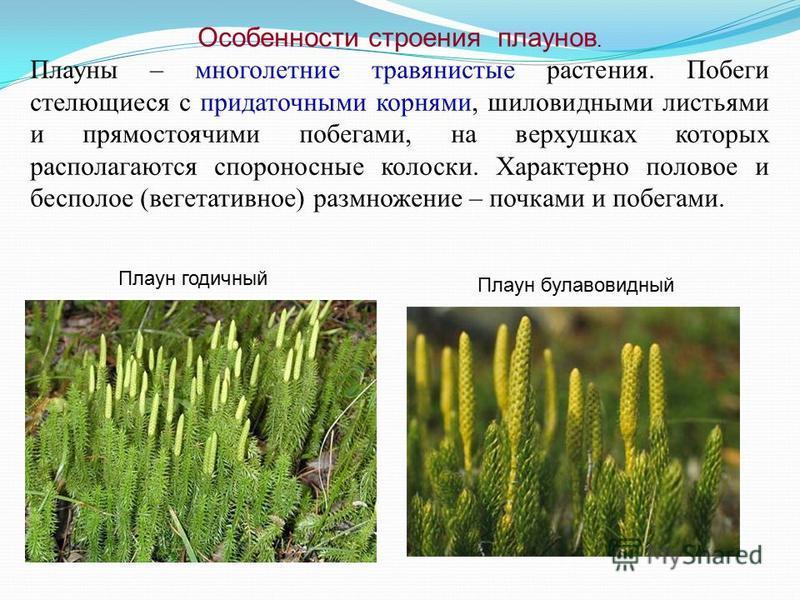 Особенности строения плаунов. Плауны – многолетние травянистые растения. Побеги стелющиеся с придаточными корнями, шиловидными листьями и прямостоячими побегами, на верхушках которых располагаются спороносные колоски. Характерно половое и бесполое (в