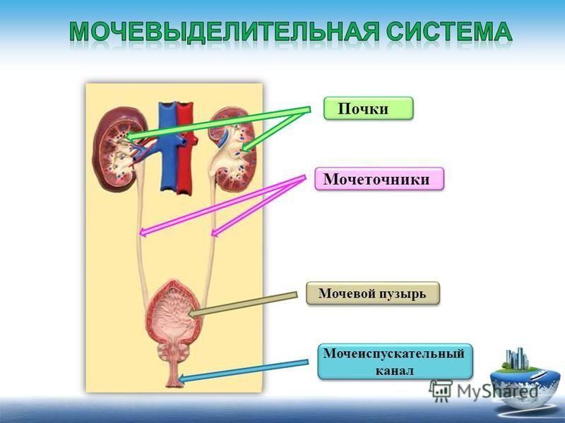 Мочевой пузырь Мочеточники Почки Мочеиспускательный канал Мочеиспускательный канал