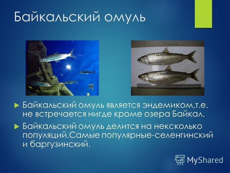 Байкальский омуль Байкальский омуль является эндемиком,т.е. не встречается нигде кроме озера Байкал. Байкальский омуль делится на несколько популяций.Самые популярные-селенгинский и баргузинский.