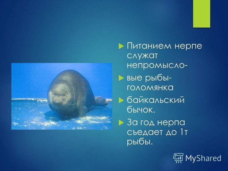 Питанием нерпе служат не промысловые рыбы- голомянка байкальский бычок. За год нерпа съедает до 1 т рыбы.