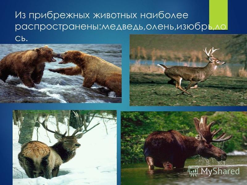 Из прибрежных животных наиболее распространены:медведь,олень,изюбрь,лось.