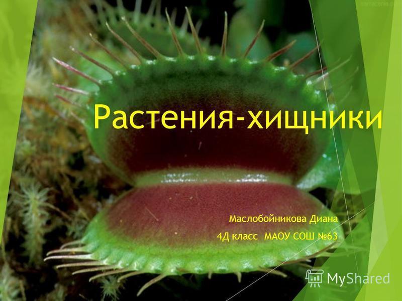 Растения-хищники Маслобойникова Диана 4Д класс МАОУ СОШ 63