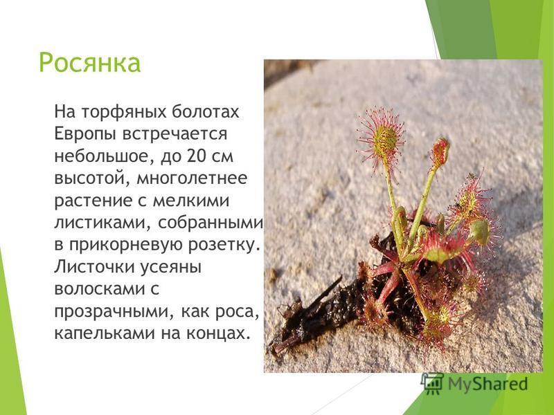Росянка На торфяных болотах Европы встречается небольшое, до 20 см высотой, многолетнее растение с мелкими листиками, собранными в прикорневую розетку. Листочки усеяны волосками с прозрачными, как роса, капельками на концах.
