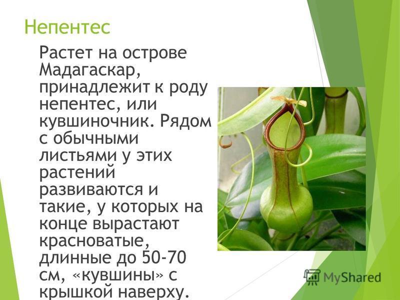 Непентес Растет на острове Мадагаскар, принадлежит к роду непентес, или кувшиночник. Рядом с обычными листьями у этих растений развиваются и такие, у которых на конце вырастают красноватые, длинные до 50-70 см, «кувшины» с крышкой наверху.