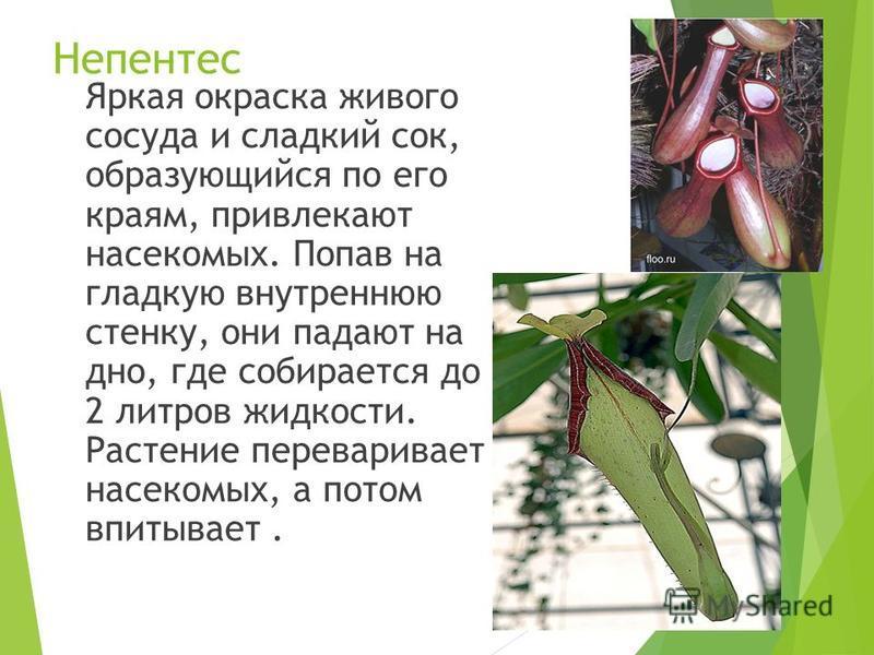 Непентес Яркая окраска живого сосуда и сладкий сок, образующийся по его краям, привлекают насекомых. Попав на гладкую внутреннюю стенку, они падают на дно, где собирается до 2 литров жидкости. Растение переваривает насекомых, а потом впитывает.