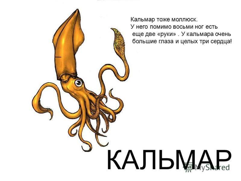 КАЛЬМАР Кальмар тоже моллюск. У него помимо восьми ног есть еще две «руки». У кальмара очень большие глаза и целых три сердца!