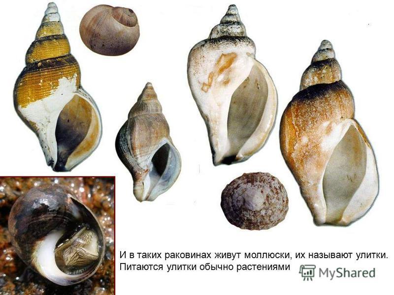 И в таких раковинах живут моллюски, их называют улитки. Питаются улитки обычно растениями