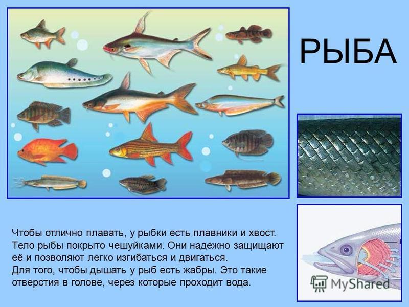 РЫБА Чтобы отлично плавать, у рыбки есть плавники и хвост. Тело рыбы покрыто чешуйками. Они надежно защищают её и позволяют легко изгибаться и двигаться. Для того, чтобы дышать у рыб есть жабры. Это такие отверстия в голове, через которые проходит во