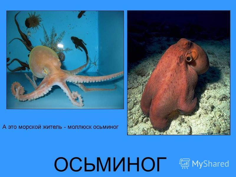 ОСЬМИНОГ А это морской житель - моллюск осьминог