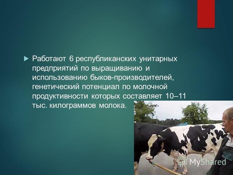 Работают 6 республиканских унитарных предприятий по выращиванию и использованию быков-производителей, генетический потенциал по молочной продуктивности которых составляет 10–11 тыс. килограммов молока.