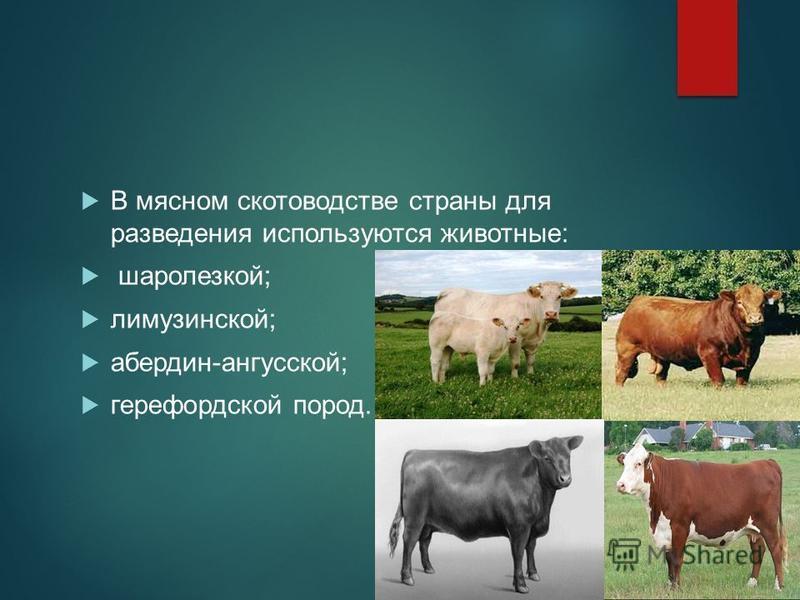 В мясном скотоводстве страны для разведения используются животные: шаролезкой; лимузинской; абердин-ангусской; герефордской пород.