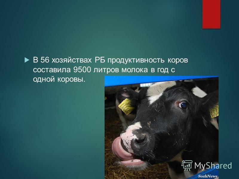 В 56 хозяйствах РБ продуктивность коров составила 9500 литров молока в год с одной коровы.