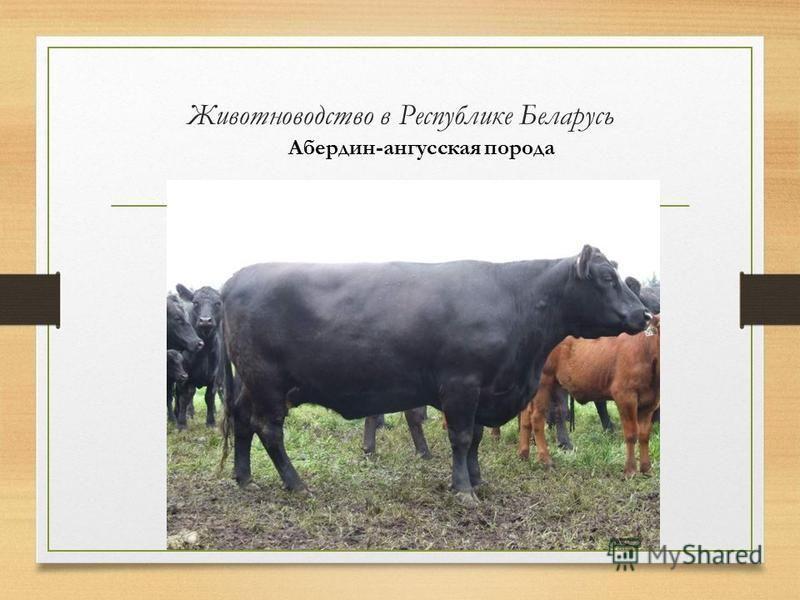 Животноводство в Республике Беларусь Абердин-ангусская порода