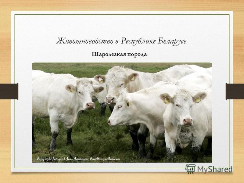 Животноводство в Республике Беларусь Шаролезкая порода
