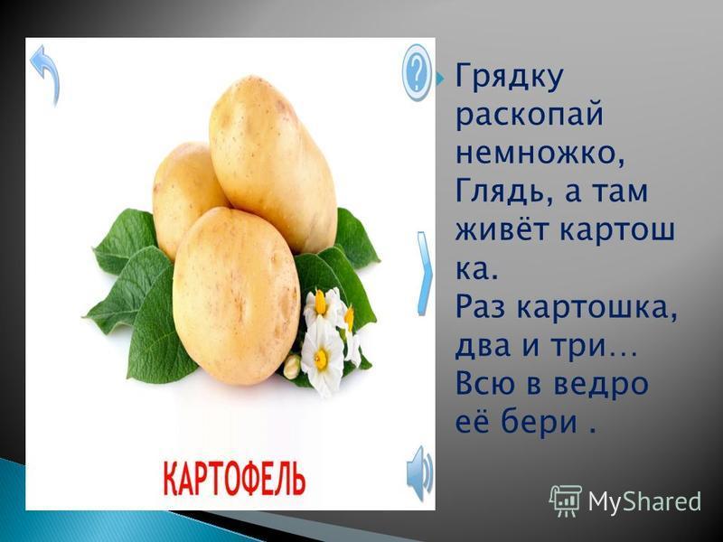 Грядку раскопай немножко, Глядь, а там живёт картошка. Раз картошка, два и три… Всю в ведро её бери.