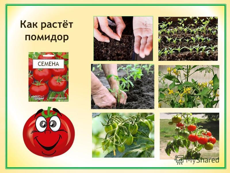 СЕМЕНА Как растёт помидор
