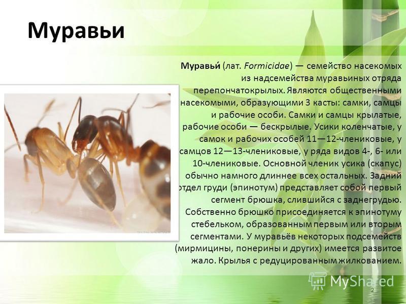 2 Муравьи Муравьи́ (лат. Formicidae) семейство насекомых из надсемейства муравьиных отряда перепончатокрылых. Являются общественными насекомыми, образующими 3 касты: самки, самцы и рабочие особи. Самки и самцы крылатые, рабочие особи бескрылые. Усики