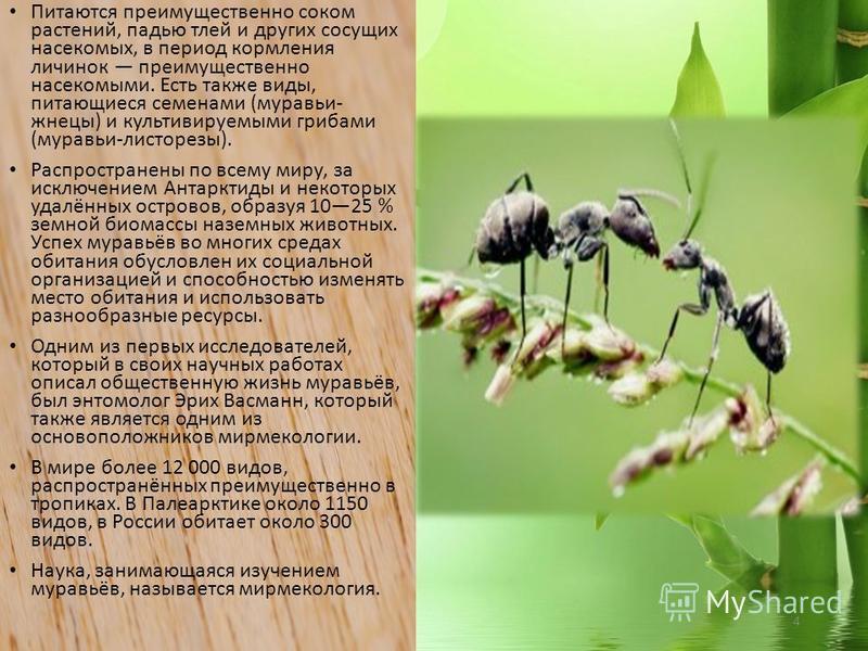 4 Питаются преимущественно соком растений, падью тлей и других сосущих насекомых, в период кормления личинок преимущественно насекомыми. Есть также виды, питающиеся семенами (муравьи- жнецы) и культивируемыми грибами (муравьи-листорезы). Распростране