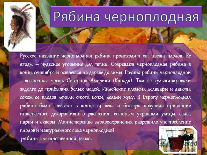 Русское название черноплодная рябина происходит от цвета плодов. Ее ягоды – чудесное угощение для птиц. Созревает черноплодная рябина в конце сентября и остается на дереве до зимы. Родина рябины черноплодной - восточная часть Северной Америки (Канада