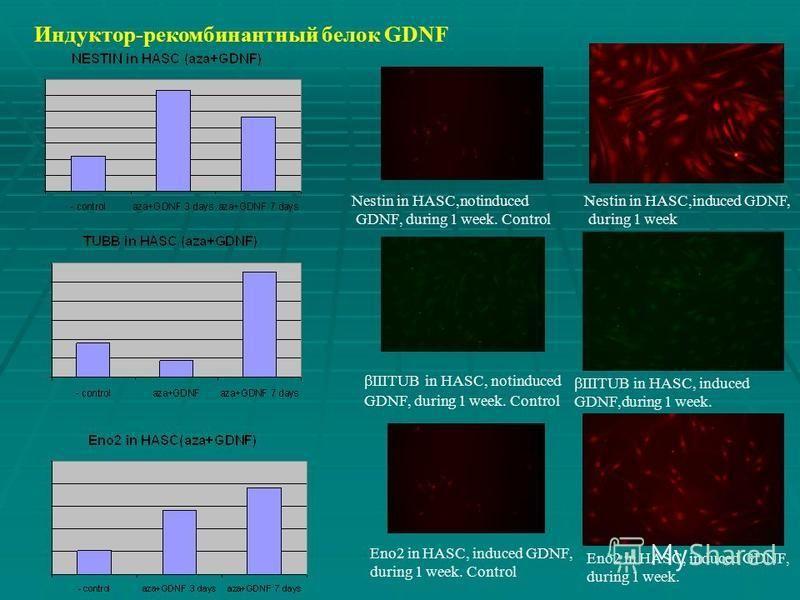 Индуктор-рекомбинантный белок GDNF. Nestin in HASC,notinduced GDNF, during 1 week. Control IIITUB in HASC, induced GDNF,during 1 week. IIITUB in HASC, notinduced GDNF, during 1 week. Control Nestin in HASC,induced GDNF, during 1 week Eno2 in HASC, in