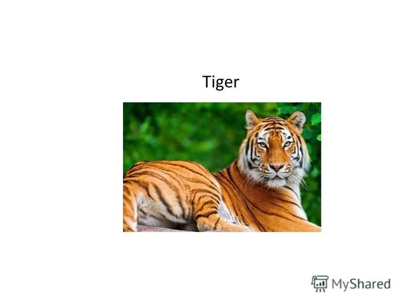 What is the largest type of big cat in the world?