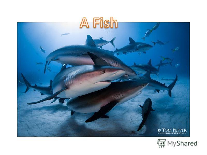 Is a shark a fish or a mammal?