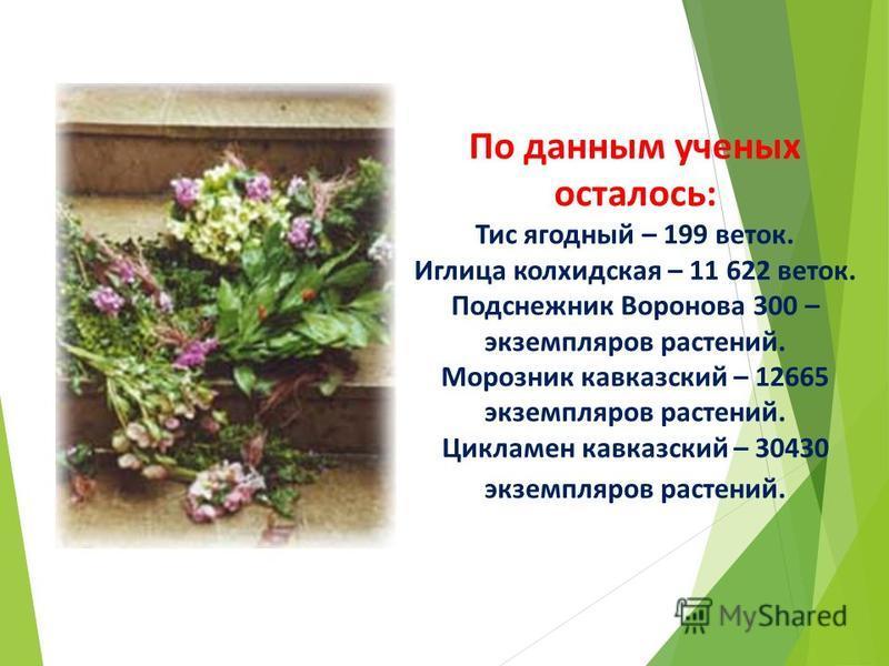 По данным ученых осталось: Тис ягодный – 199 веток. Иглица колхидская – 11 622 веток. Подснежник Воронова 300 – экземпляров растений. Морозник кавказский – 12665 экземпляров растений. Цикламен кавказский – 30430 экземпляров растений.
