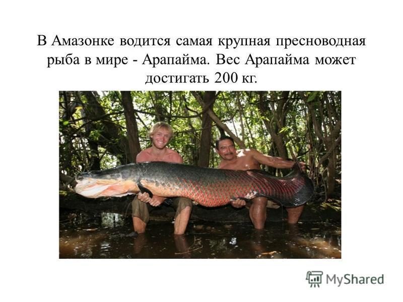 В Амазонке водится самая крупная пресноводная рыба в мире - Арапайма. Вес Арапайма может достигать 200 кг.