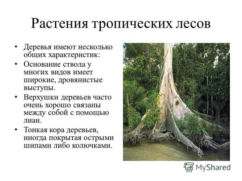 Растения тропических лесов Деревья имеют несколько общих характеристик: Основание ствола у многих видов имеет широкие, дровянистые выступы. Верхушки деревьев часто очень хорошо связаны между собой с помощью лиан. Тонкая кора деревьев, иногда покрытая