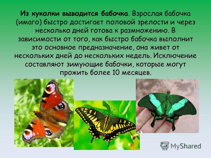 Из куколки выводится бабочка. Взрослая бабочка (имаго) быстро достигает половой зрелости и через несколько дней готова к размножению. В зависимости от того, как быстро бабочка выполнит это основное предназначение, она живет от нескольких дней до неск