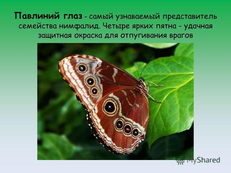 Павлиний глаз - самый узнаваемый представитель семейства нимфалид. Четыре ярких пятна - удачная защитная окраска для отпугивания врагов