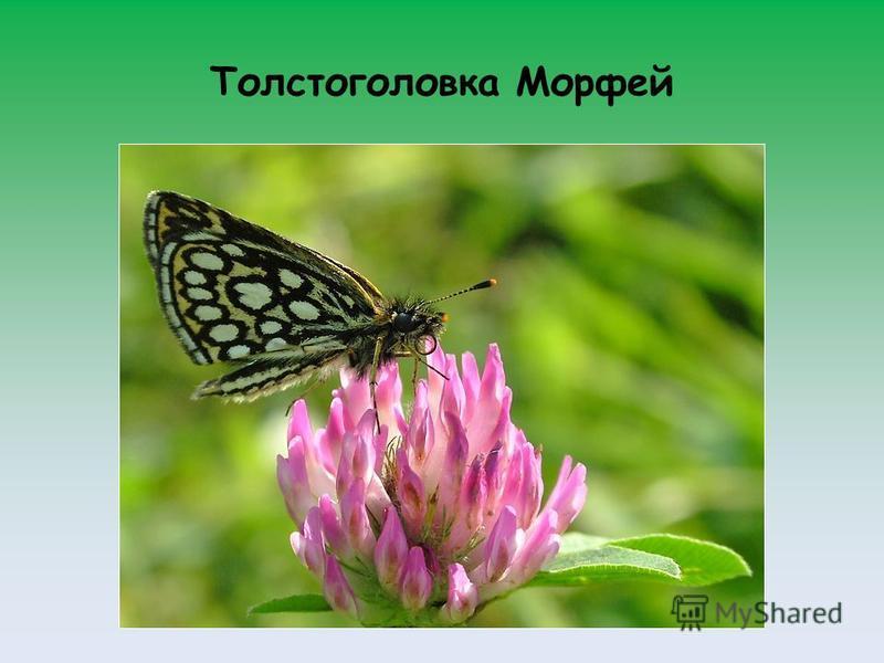 Толстоголовка Морфей