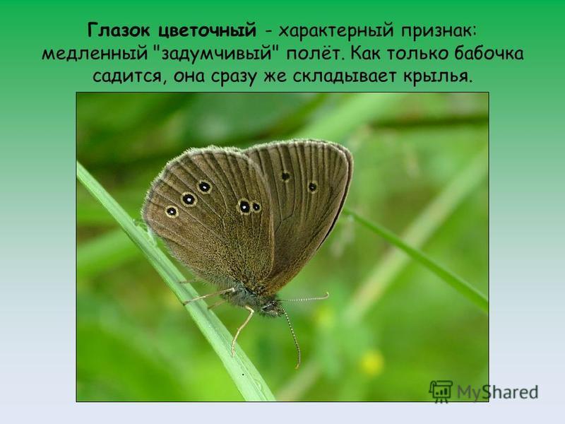Глазок цветочный - характерный признак: медленный задумчивый полёт. Как только бабочка садится, она сразу же складывает крылья.