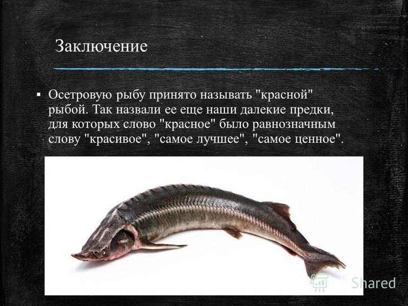Заключение Осетровую рыбу принято называть красной рыбой. Так назвали ее еще наши далекие предки, для которых слово красное было равнозначным слову красивое, самое лучшее, самое ценное.