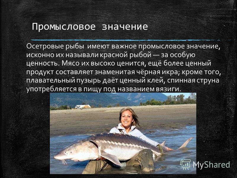 Промысловое значение Осетровые рыбы имеют важное промысловое значение, исконно их называли красной рыбой за особую ценность. Мясо их высоко ценится, ещё более ценный продукт составляет знаменитая чёрная икра; кроме того, плавательный пузырь даёт ценн