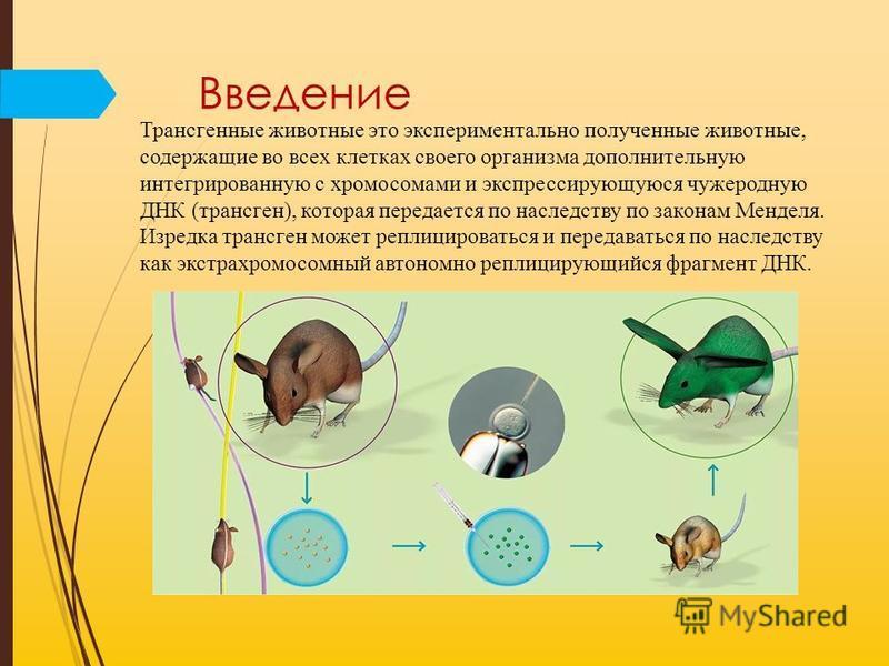 Введение Трансгенные животные это экспериментально полученные животные, содержащие во всех клетках своего органызма дополнительную интегрированную с хромосомами и экспрессирующуюся чужеродную ДНК (трансген), которая передается по наследству по закона