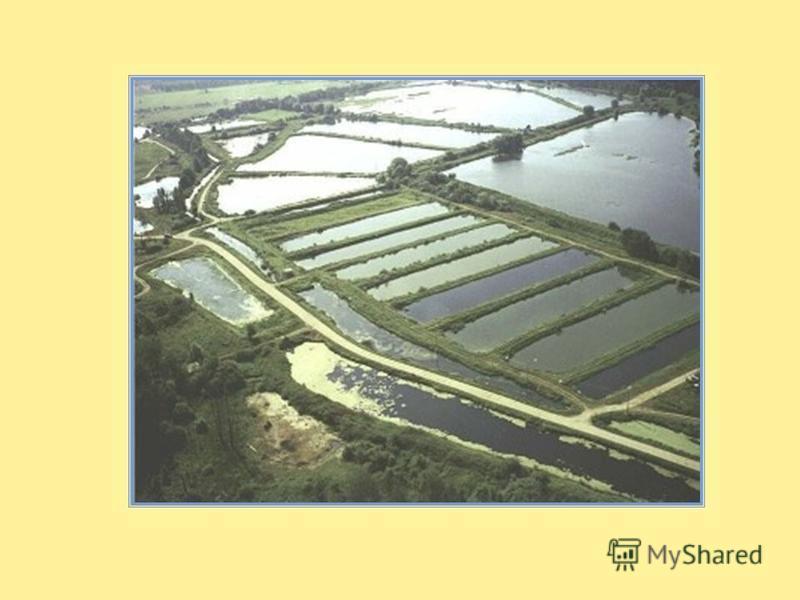 Рыбоводство Разведением рыбы в прудах занимаются специальные рыбоводческие хозяйства. Основные прудовые рыбы карп сазан толстолобик