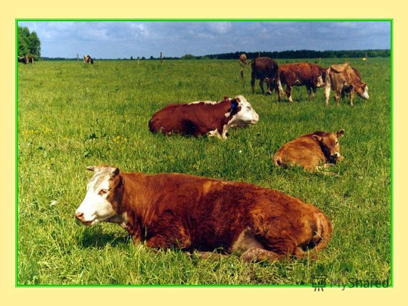 Корова – домашнее животное. Человек приручил корову более 6 000 лет назад, и с тех пор она приносит людям большую пользу. Долгое время её даже считали священным животным. Корова даёт нам молоко – от одной коровы можно получить по четыре-пять литров м