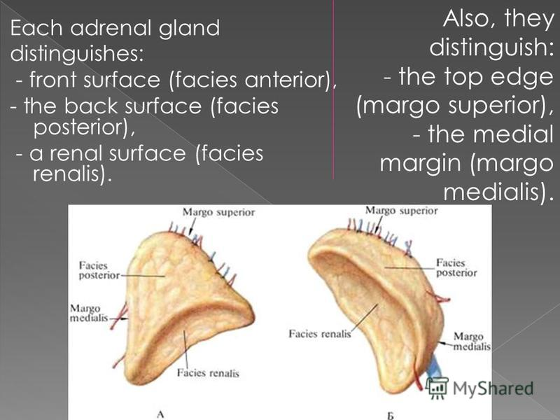 The Paired Endocrine Gland Located In The
