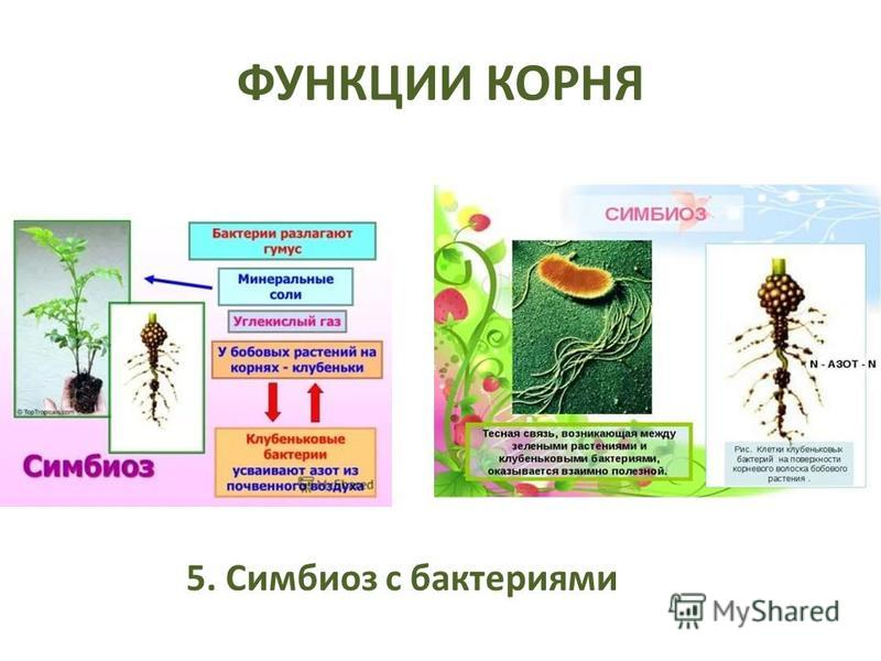 ФУНКЦИИ КОРНЯ 5. Симбиоз с бактериями