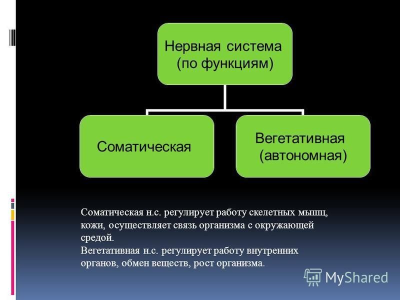 Нервная система (по функциям) Соматическая Вегетативная (автономная) Соматическая н.с. регулирует работу скелетных мышц, кожи, осуществляет связь организма с окружающей средой. Вегетативная н.с. регулирует работу внутренних органов, обмен веществ, ро