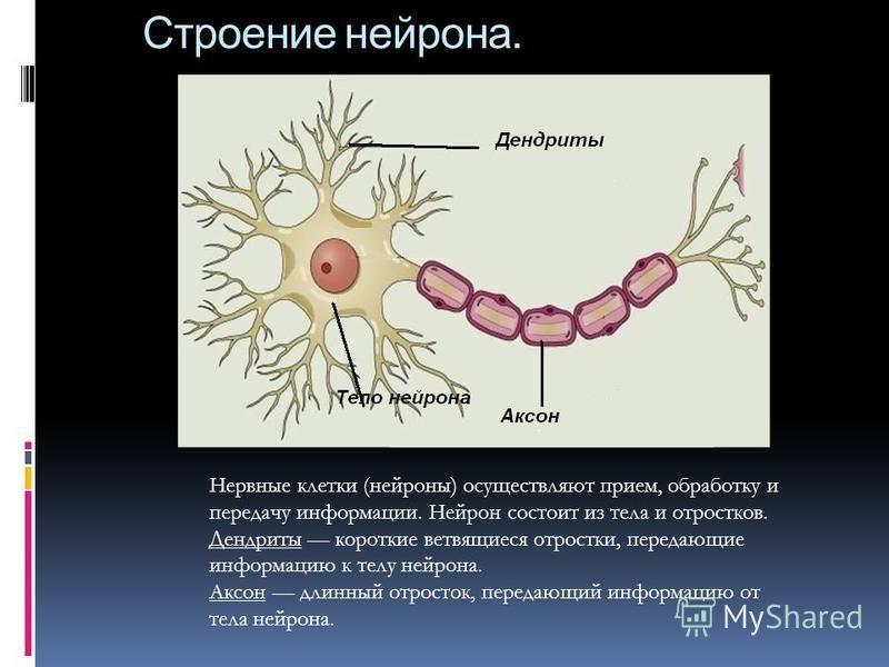 Строение нейрона. Нервные клетки (нейроны) осуществляют прием, обработку и передачу информации. Нейрон состоит из тела и отростков. Дендриты короткие ветвящиеся отростки, передающие информацию к телу нейрона. Аксон длинный отросток, передающий информ