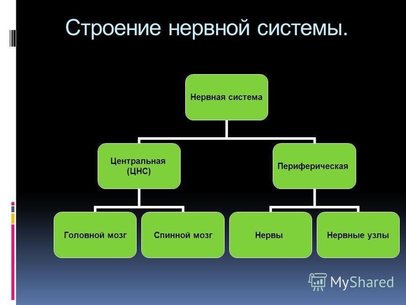 Строение нервной системы. Нервная система Центральная (ЦНС) Головной мозг Спинной мозг Периферическая Нервы Нервные узлы