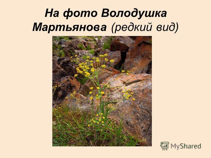 На фото Володушка Мартьянова (редкий вид)