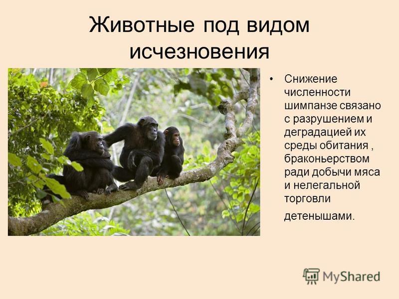 Животные под видом исчезновения Снижение численности шимпанзе связано с разрушением и деградацией их среды обитания, браконьерством ради добычи мяса и нелегальной торговли детенышами.