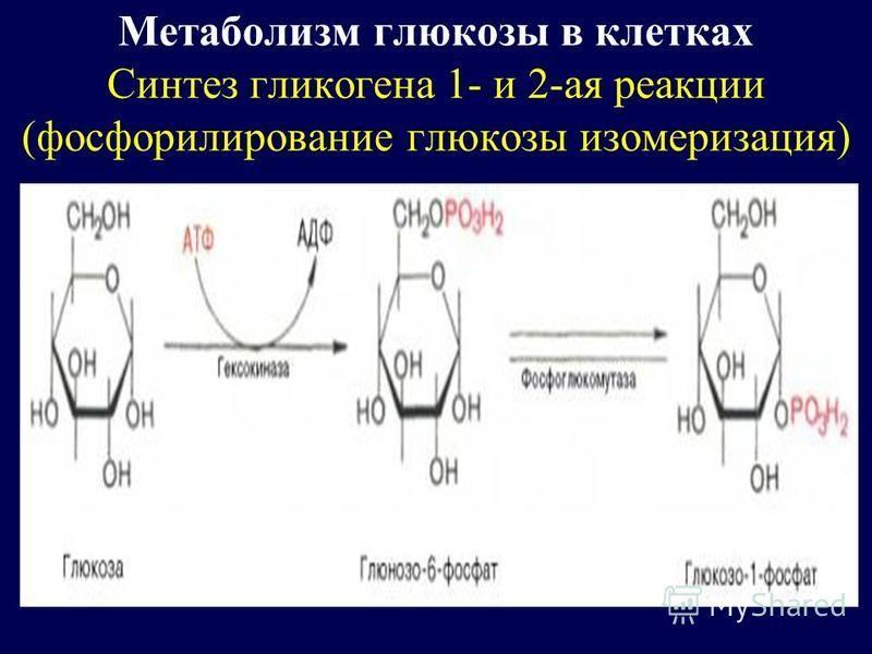 Метаболизм глюкозы в клетках Синтез гликогена 1- и 2-ая реакции (фосфорилирование глюкозы изомеризация)
